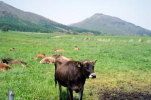 ジャージー牛ー蒜山高原ー