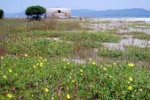 犬島の浜ー月見草ー