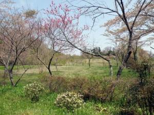 久保井野キャンプ場ー桜の広場ー