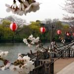 酒津公園ー桜ー