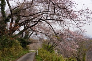桜ー高倉山ー