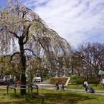 石山公園ー枝垂桜ー