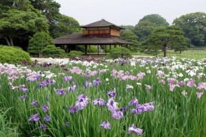 花菖蒲畑と流店