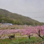 赤磐市 鴨前地区の桃畑