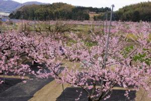 赤磐市 鴨先地区の桃畑-3