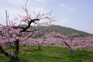 赤磐市 鴨前地区の桃畑-7