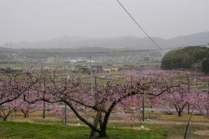 赤磐市 鴨前地区の桃畑-8