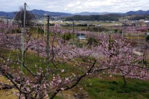 赤磐市の桃畑