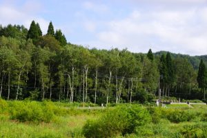 白樺林ー恩原高原ー