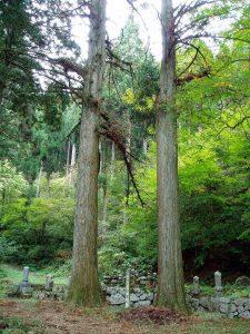 菩提寺広葉杉