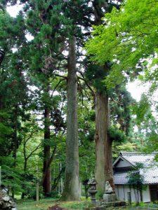 菩提寺大杉