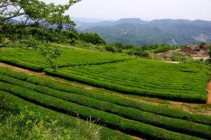 茶畑ー星のリゾートー