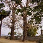 妙興寺の大イチョウー冬ー