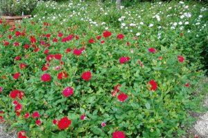 ミニバラー深山イギリス庭園ー