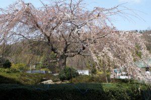 しだれ桜ー岡山いこいの村ー