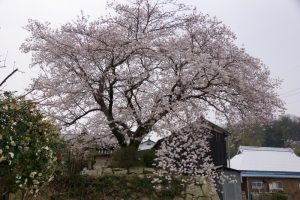 牛神社の桜ー夢二ふるさと遊歩道ー