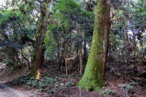 熊山天然杉二本ー天然記念物ー