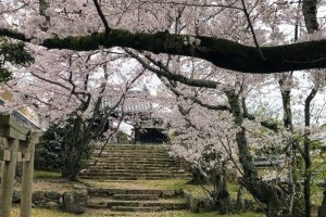 山門の桜ー仏心寺ー