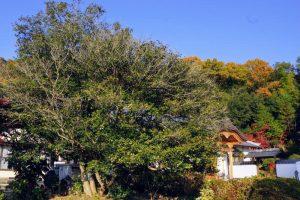 延寿の椿ー湯迫山浄土寺ー