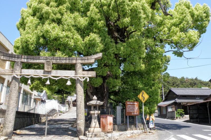 安倉八幡のくすの木