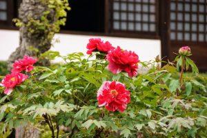 牡丹の花ー国富山少林寺ー