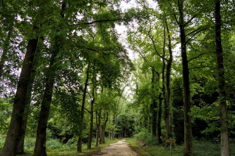 モミジバフウの並木道