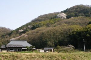 大山桜ー奥迫川ー