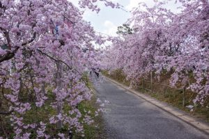桜並木ーたけべの森公園ー