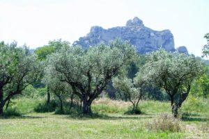 オリーブ畑とアルピーユ山脈