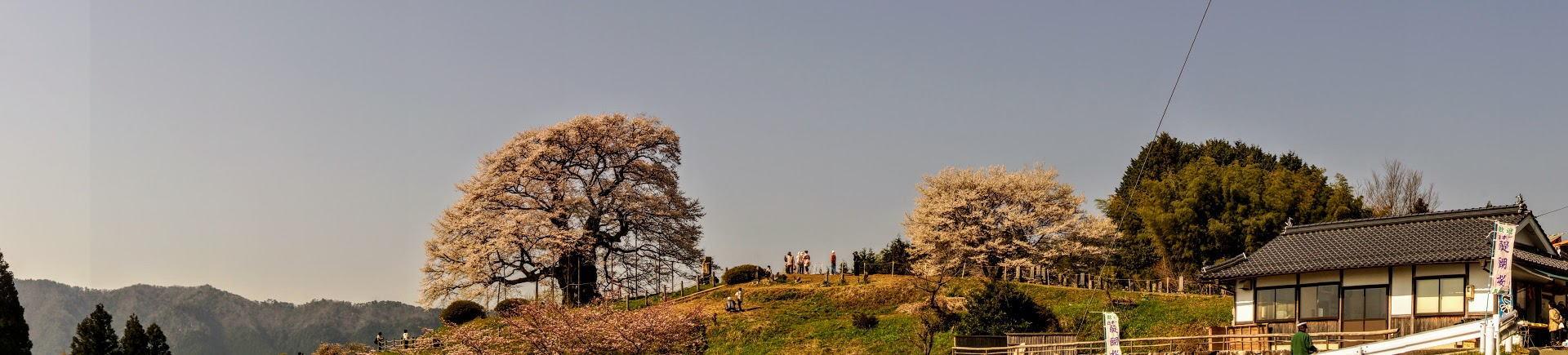 醍醐桜ーパノラマー
