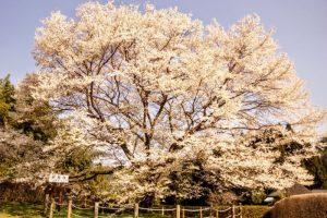 2代目醍醐桜