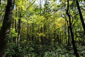 大山裾野のブナ林