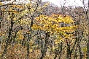 ブナ林の秋