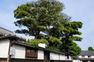 樹齢400年越えの松ー料理旅館鶴形ー