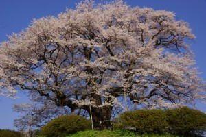 醍醐桜・落合地区