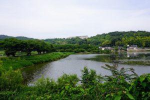 金子大池と桜並木