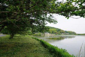 金子大池の桜並木