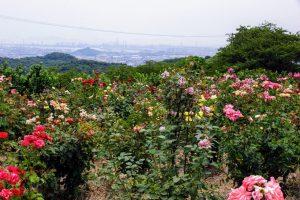 バラー種松山公園ー