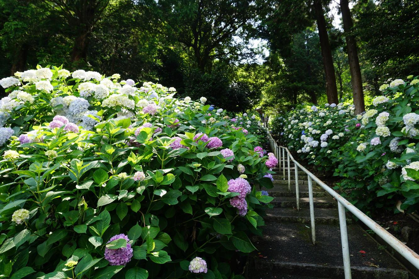 吉備津神社 アジサイ園