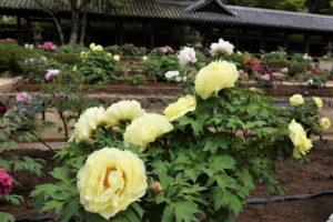 ボタン園-2ー吉備津神社ー