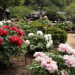 ボタン園-3ー吉備津神社ー