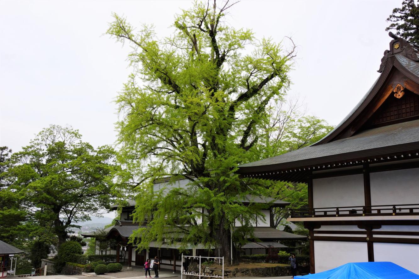 神木いちょう(大銀杏)ー吉備津神社ー
