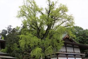 神木いちょう(大銀杏)-2ー吉備津神社ー
