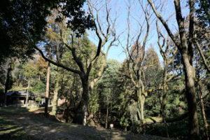 山桜の大木ー保存樹ー