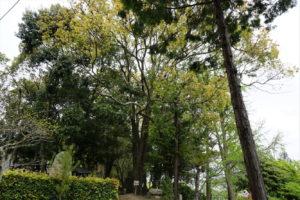 保存樹 クスノキ