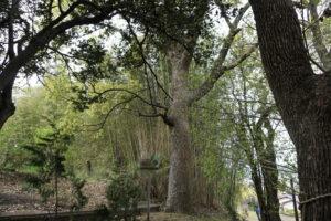 保存樹 クスノキ 第86号