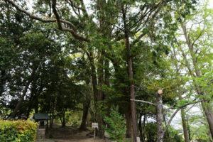 保存樹 クスノキ 第87号